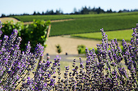 Lavender and vines at Methven Family Vineyards