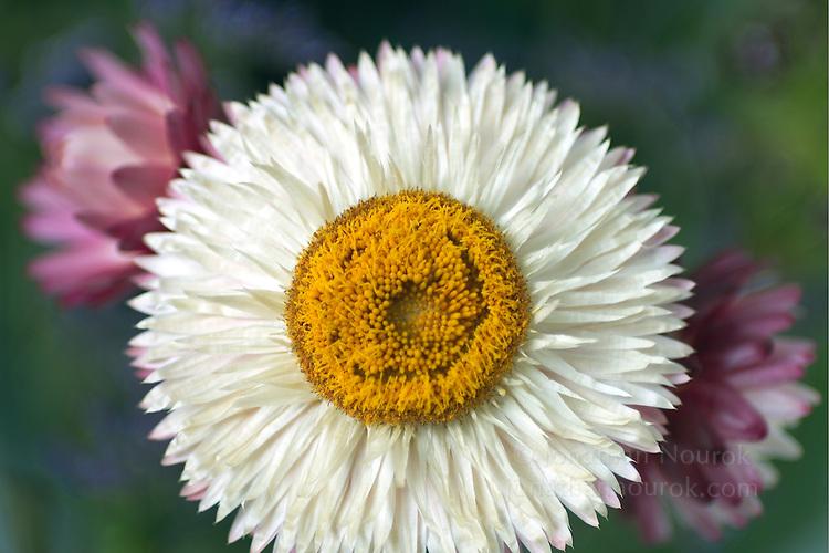 white strawflower