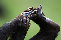 Bonobo mature male hands clutching feet close-up (Pan paniscus), Lola Ya Bonobo Sanctuary, Democratic Republic of Congo.