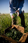 Carolyn Cismoski picks arugula at Dell Rio Botanical in West Sacramento, CA May 3, 2010.