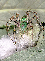 "0922-07yy  Green Lynx Spiderling guarding egg case ""egg sac""  - Peucetia viridans  ""Eastern Variation"" - © David Kuhn/Dwight Kuhn Photography"