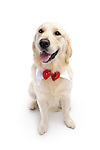 Portrait of Golden Retriever wearing a bow sitting and looking at the camera. Isolated on white background. Brody - Gray Valley Kennels - Toronto.