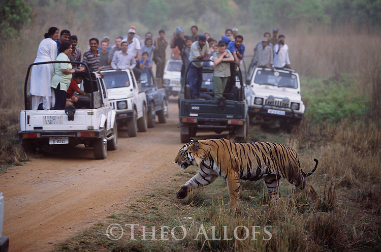 Madhya Pradesh, India;A dominant male tiger crosses the road at dusk near game drive vehicles in Bandhavgarh National Park in India.