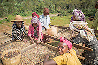 Farmers sort coffee cherries and later the beans at a small farm in the village of Konga, Yirgacheffe, in Ethiopia. Ethiopia is the world's seventh largest producer of coffee, and Africa's top producer.