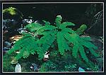 FB 96, Five fingered fern