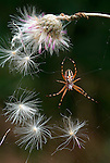 Aculepeira armida spider on web, with dandelion and seeds, orange, brown and white colours.France....