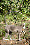 Hanuman Langur With Tail In Air