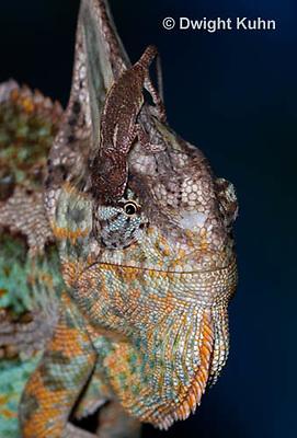 CH49-528z  Veiled Chameleon juvenile climbing on male, Chamaeleo calyptratus