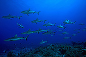 School of Gray Reef Sharks (Carcharhinus amblyrhynchos), South Pass, Fakarava, Tahiti Island.