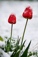 Bright red tulips covered by snow.