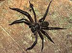 Huntsman Spider, Family: Heteropodidae, Sabah Borneo.Borneo....