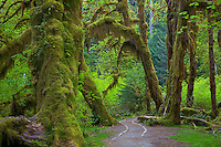 Olympic National Park, WA     <br /> Mossy bigleaf maples (Acer marcophyllum) and mossy branches along the Hall of Mosses trail