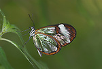 Greta Oto, Clearwing, Glasswing Butterfly, resting on leaf, Ecuador, Jungle, .South America....