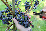 Foto: VidiPhoto<br /> <br /> DODEWAARD - Het ziet er niet best uit voor de Nederlandse wijnoogst. Wijngaarden hebben te kampen met meeldauw en de Suzuki fruitvlieg die voor veel rotte druiven zorgt. Daarom plukt wijngaardenier Teun Geluk van de S-akker uit Dodewaard woensdag de meest slechte druiventrossen van zijn 1300 wijnstokken, voordat maandag de echte oogst begint. De druiven in de voorpluk worden gebruikt voor zoete wijn. Doordat fruitvliegjes voor verzuring zorgen, worden trossen met rotte druiven uit voorzorg weggeknipt. De wijnen van Geluk vallen ieder jaar in de prijzen. Wijnboer Freek Verhoeven van Wijnhoeve de Colonjes uit Groesbeek, de grootste wijngaard van Nederland, noemt de oogst dit jaar &quot;een ramp. De meeldauw heeft zelfs resistente druiven aangetast. Dit heb ik nog niet eerder meegemaakt.&quot; Oorzaak is volgens hem de lange en natte periode van twee weken terug.