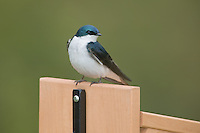 Tree Swallow (Tachycineta bicolor) perching on a nest box