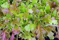 Lettuce Roselee salad leaves