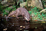 European Otter (Lutra lutra) - captive, on riverbank, wet fur, .United Kingdom....