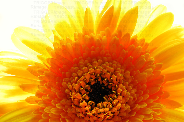 Close up of sunlit yellow gerbera daisy against white background.