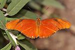Julia Heliconian male, Dryas iulia, Southern California