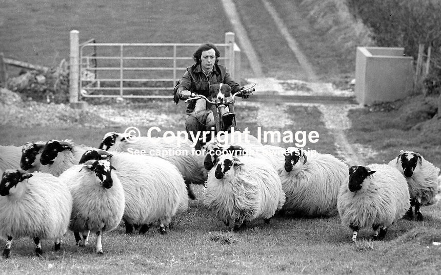 Sheep farmer, Norman McKee, Larne, Co Antrim, N Ireland, uses a trials motorbike, with sheepdog, Mitty, on board to round up his sheep. 20th December 1975. 197512200786b<br /> <br /> Copyright Image from Victor Patterson, 54 Dorchester Park, Belfast, UK, BT9 6RJ<br /> <br /> Tel: +44 28 9066 1296<br /> Mob: +44 7802 353836<br /> Voicemail +44 20 8816 7153<br /> Email: victorpatterson@me.com<br /> Email: victorpatterson@gmail.com<br /> <br /> IMPORTANT: My Terms and Conditions of Business are at www.victorpatterson.com