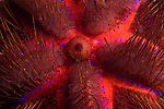 Anilao, Philippines; a detail view of the red, radiating pattern of the Long-spined Sea Urchin (Astropyga radiata)