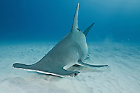 RR2486-D. Great Hammerhead Shark (Sphyrna mokarran), uses broad head like a metal detector, sweeping over the sand bottom. Electroreceptive organs on the underside called the ampullae of Lorenzini allow it to detect weak electric fields given off by fish, even those buried under sand. Bahamas, Atlantic Ocean.<br /> Photo Copyright &copy; Brandon Cole. All rights reserved worldwide.  www.brandoncole.com