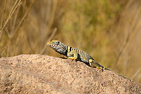 414390014 a wild great basin or desert collared lizard crotaphytus insularis bicinctores perches on a rock along chalk cliffs road near bishop in northern inyo county california united states
