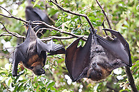 Grey-headed Flying-foxes also known as fruit bats camp at Royal Botanic Garden, Sydney