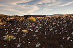 Buckwheat flowers bloom on the side of a lava rock formation at Craters of the Moon National Preserve.