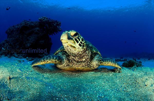 A female green sea turtle, Chelonia mydas, rests on a sandy bottom. Hawaii.