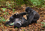 Mountain gorillas, Rwanda