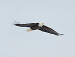 Bald Eagles Onondaga Lake 1/26/2013