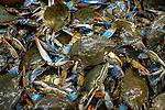 Catch of live Atlantic blue crab.