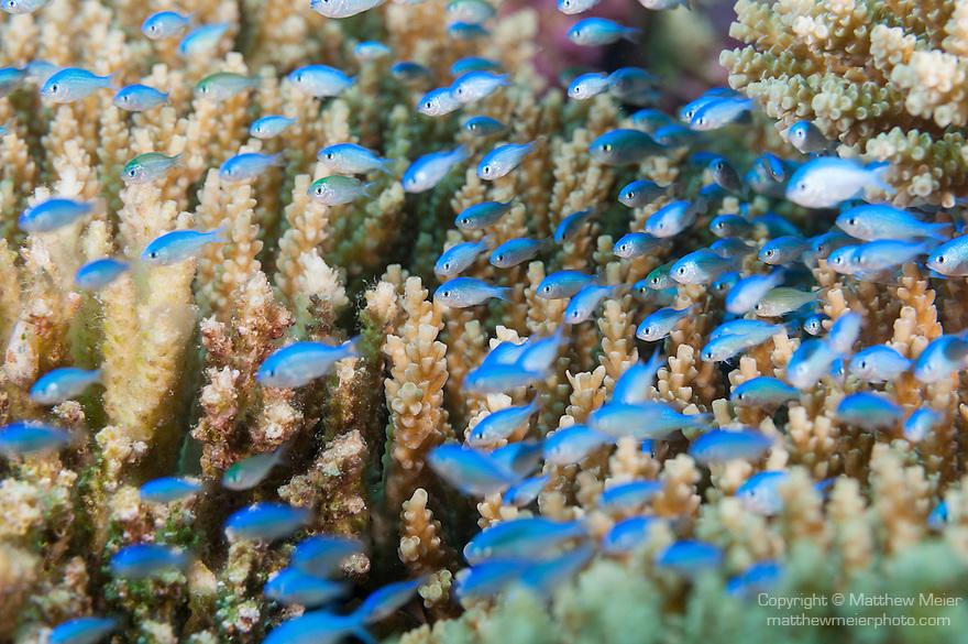 Vadinolu Giri, Laamu Atoll, Maldives; a school of small Blue-green Chromis (Chromis viridis) fish swimming over branching hard corals (Acropora sp.)