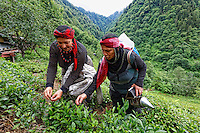 The region of Rize: since the 1950s the Firtina Valley and the canton of Camlihemsin have become a tea production center in Turkey because of that subtropical climate that allows its cultivation. In the valley, the women take care of the family farms to produce a quality organic tea. For the white tea, of which the price can reach 300 Turkish lira a kilo, only the young shoots are gathered, leaf by leaf, thus explaining its price and quality. These women from the Laze ethnic group, heads of family, also take care of an apiary with fifty or so modern hives.///La région de Rize, la vallée de Firtina et le canton de Camlihemsin: sont devenu depuis dans les années 50 le lieu de production de thé en Turquie à cause du climat sub-tropical qui permet cette culture. Dans la vallée, les femmes s'occupent des exploitations familiales pour produire un thé biologique de qualité. Pour le thé blanc dont le prix atteint 300 livres turques le kilo, seules les jeunes pousses sont récolté feuille à feuille d'ou son prix et sa qualité. Ces femmes de l'ethnie Laze, chefs de famille s'occupe également d'un rucher d'une cinquantaine de ruches moderne.