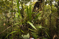 A nice big and healthy clamshell orchid deep in a slough in Southwest Florida. There are three flower spikes on this one and they are blooming!