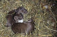 Mauswiesel, Muttertier mit Jungtier im Nest, Maus-Wiesel, Kleines Wiesel, Marder, Mustela nivalis, least weasel