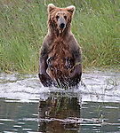 Grizzly (Brown) Bear, (Ursus arctos), Katmai National Park, Alaska, USA