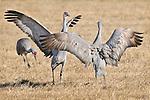 A sandhill crane (Grus canadensis) shows off for its mate during the spring migration through Monte Vista National Wildlife Refuge, Colorado.