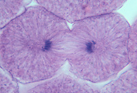 Late anaphase stage of mitosis in a Rainbow Trout egg cell (Salmo gairdneri). LM X480