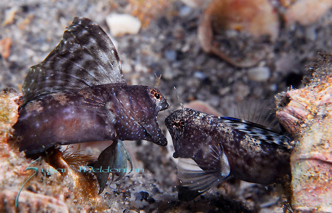 2Sailfin Blennies fighting, Emblemaria pandionis