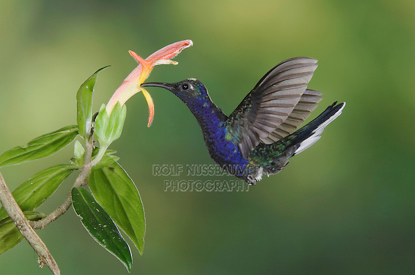 "Violet Sabrewing, Campylopterus hemileucurus, male in flight feeding on ""Snakeface"" flower , Central Valley, Costa Rica, Central America"