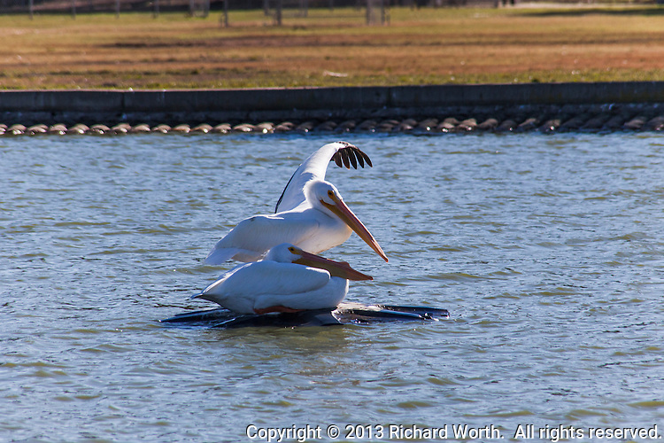 One of two White pelicans stretches a black-tipped wing while resting on the fountain fixture at San Lorenzo Park.