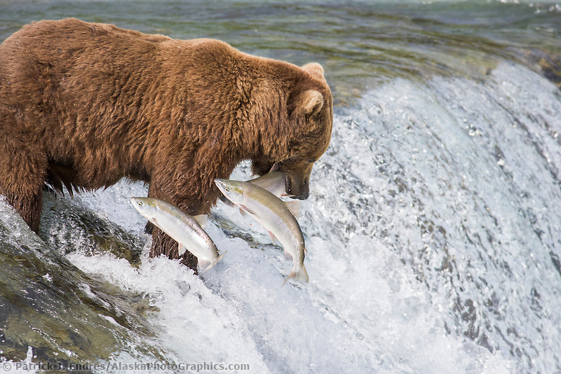 Brown bears fishing for red salmon at the falls of Brooks River, Katmai National Park, Alaska