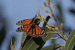 monarch butterflies on eucalyptus tree in Santa Cruz