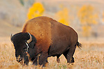 Bison Male, Lamar Valley, Yellowstone National Park, Wyoming