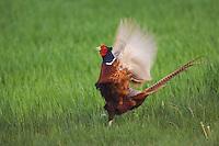 Ring-necked Pheasant, Phasianus colchicus,male calling, National Park Lake Neusiedl, Burgenland, Austria, Europe