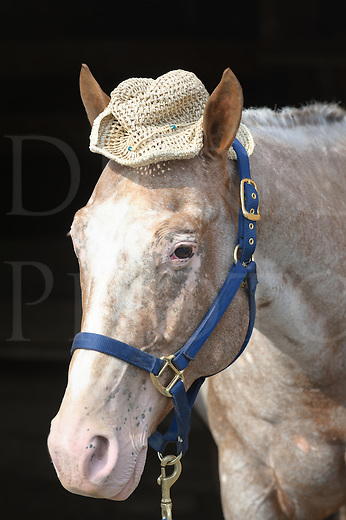 Horse wearing straw hat in hillbilly style, head shot of Appaloosa purebred.