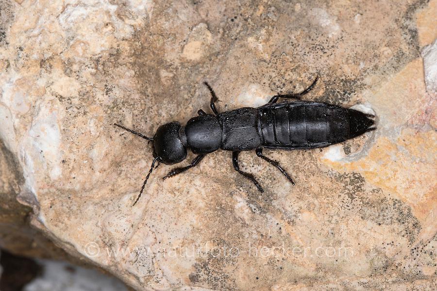 Kurzflügler, Raubkäfer, Moderkäfer, Ocypus spec., rove beetle, Devil's coach-horse beetle, Cocktail beetle, Südfrankreich
