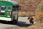 A bus encounted a brown bear, Denali National Park, Alaska, USA